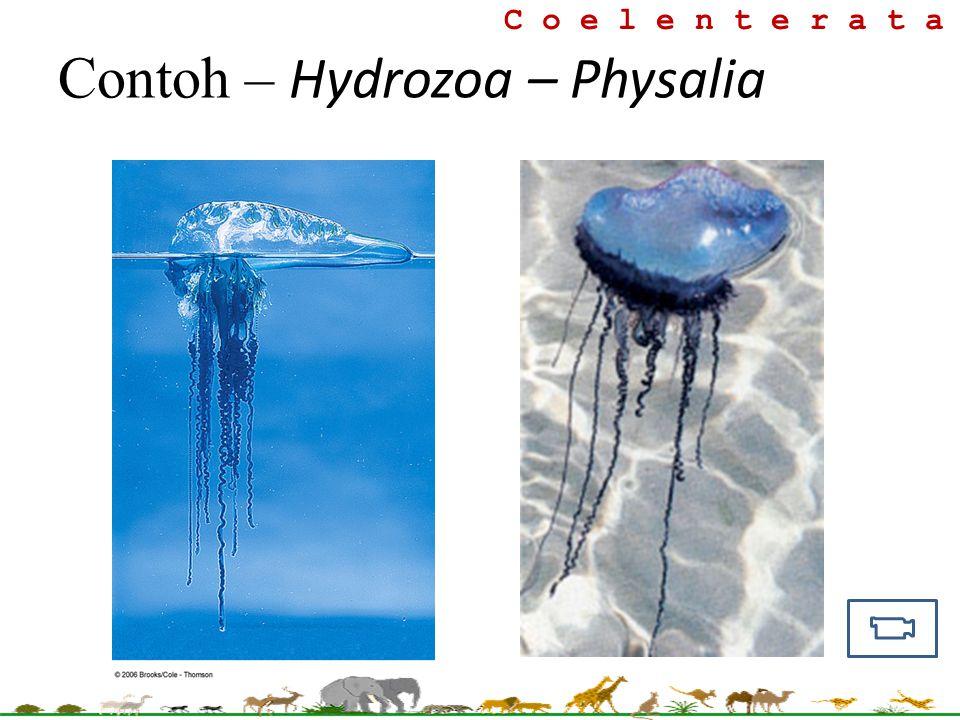 Contoh – Hydrozoa – Physalia