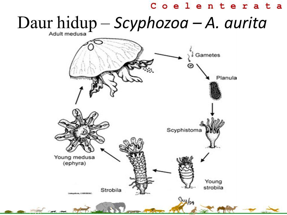 Daur hidup – Scyphozoa – A. aurita
