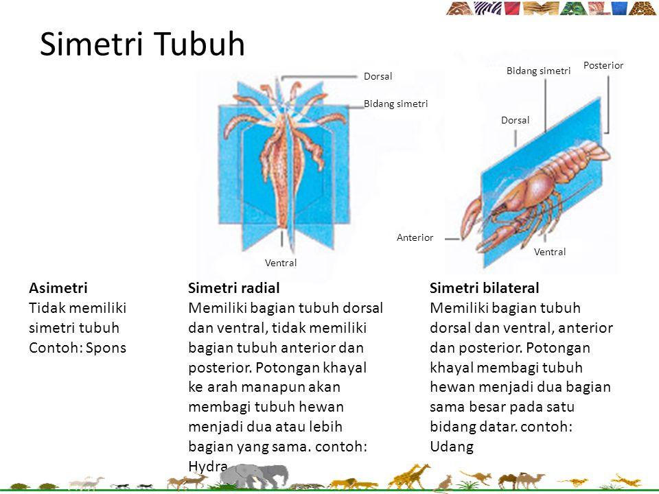 Simetri Tubuh Asimetri Tidak memiliki simetri tubuh Contoh: Spons