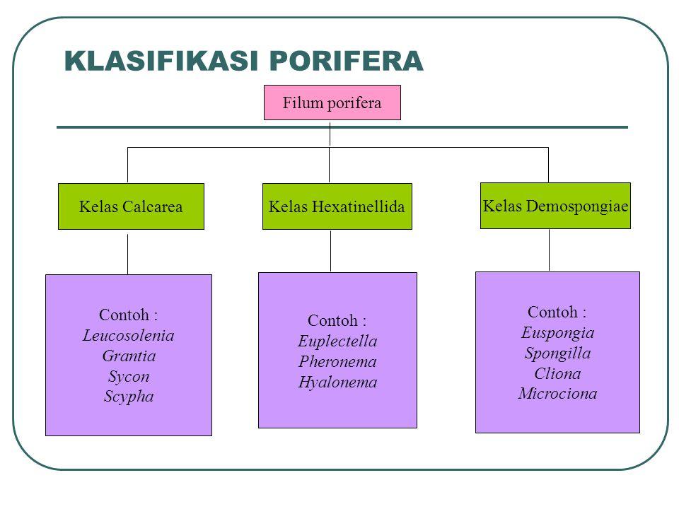 KLASIFIKASI PORIFERA Filum porifera Kelas Calcarea Kelas Hexatinellida