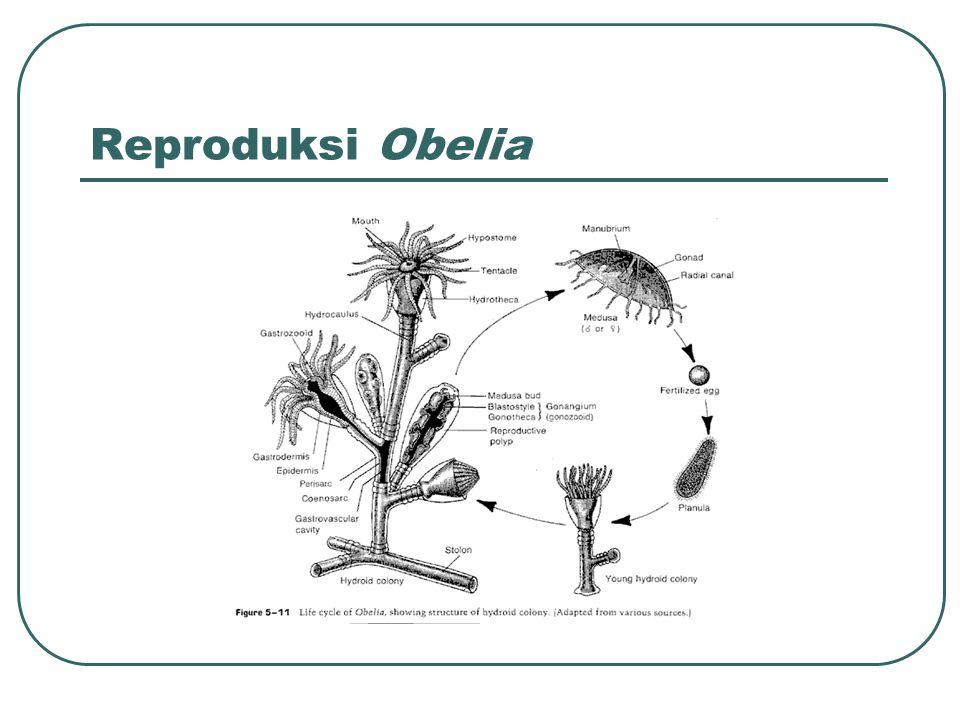 Reproduksi Obelia