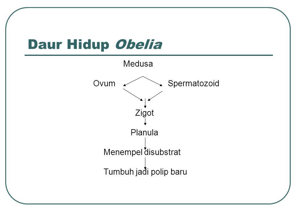 Daur Hidup Obelia Medusa Ovum Spermatozoid Zigot Planula