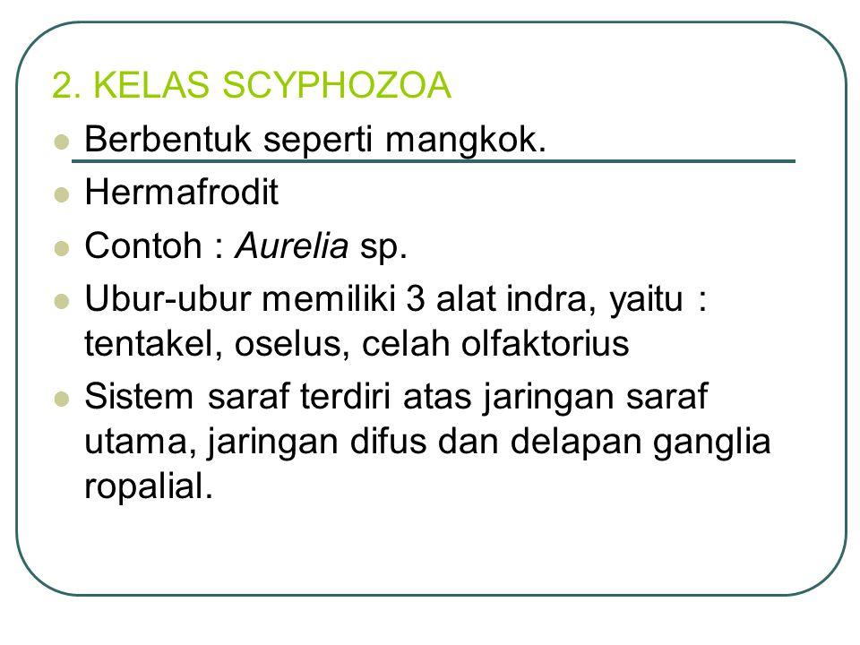 2. KELAS SCYPHOZOA Berbentuk seperti mangkok. Hermafrodit. Contoh : Aurelia sp.