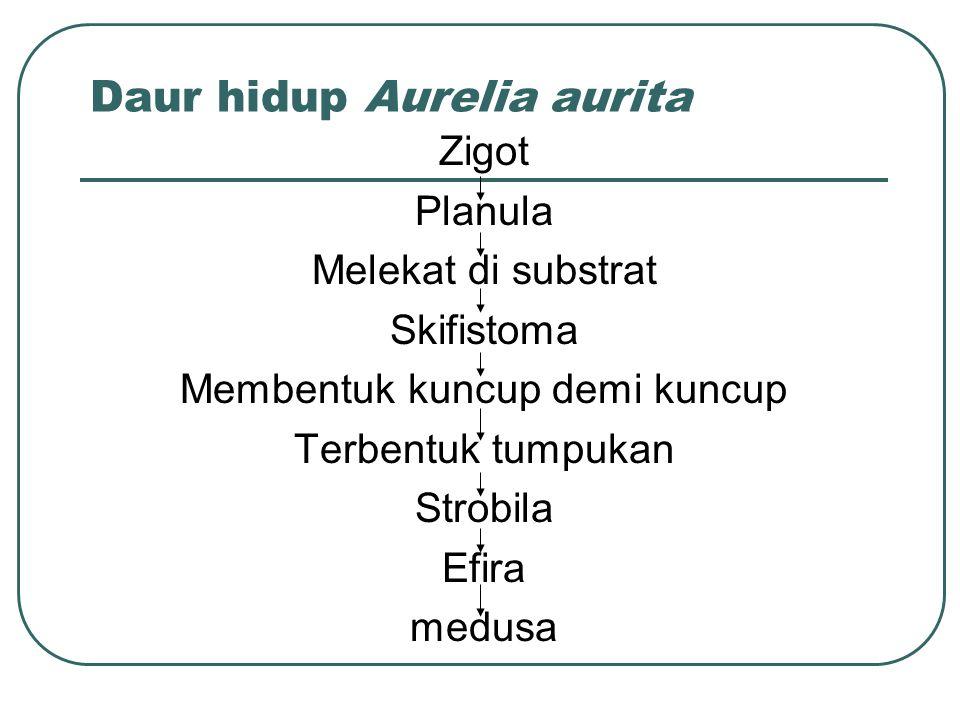 Daur hidup Aurelia aurita