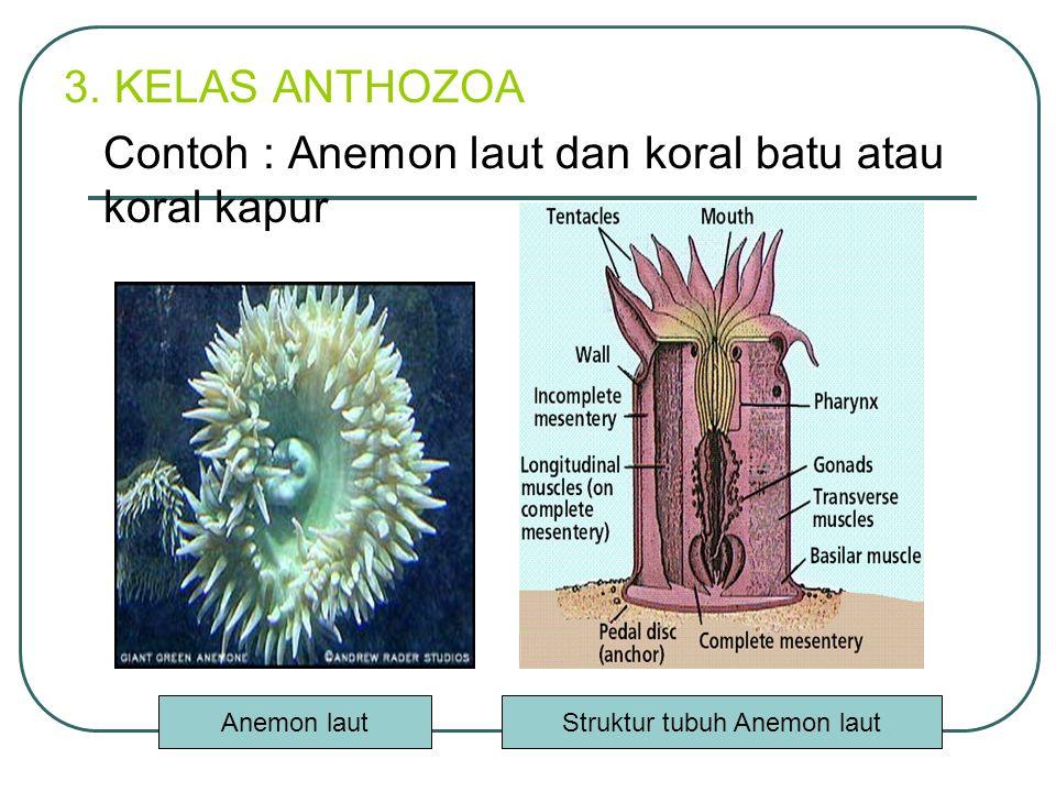 Struktur tubuh Anemon laut