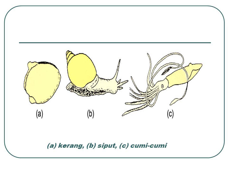 (a) kerang, (b) siput, (c) cumi-cumi