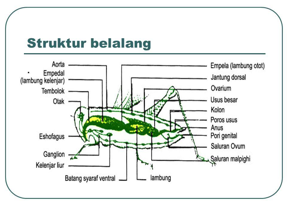Struktur belalang .