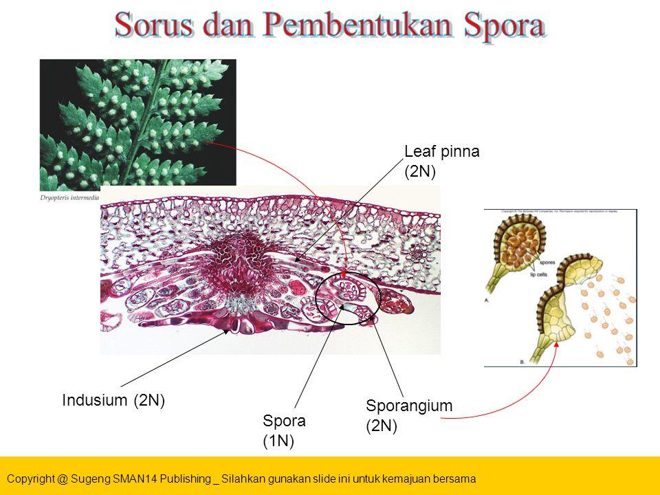 Sorus dan Pembentukan Spora