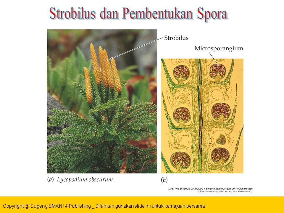 Strobilus dan Pembentukan Spora