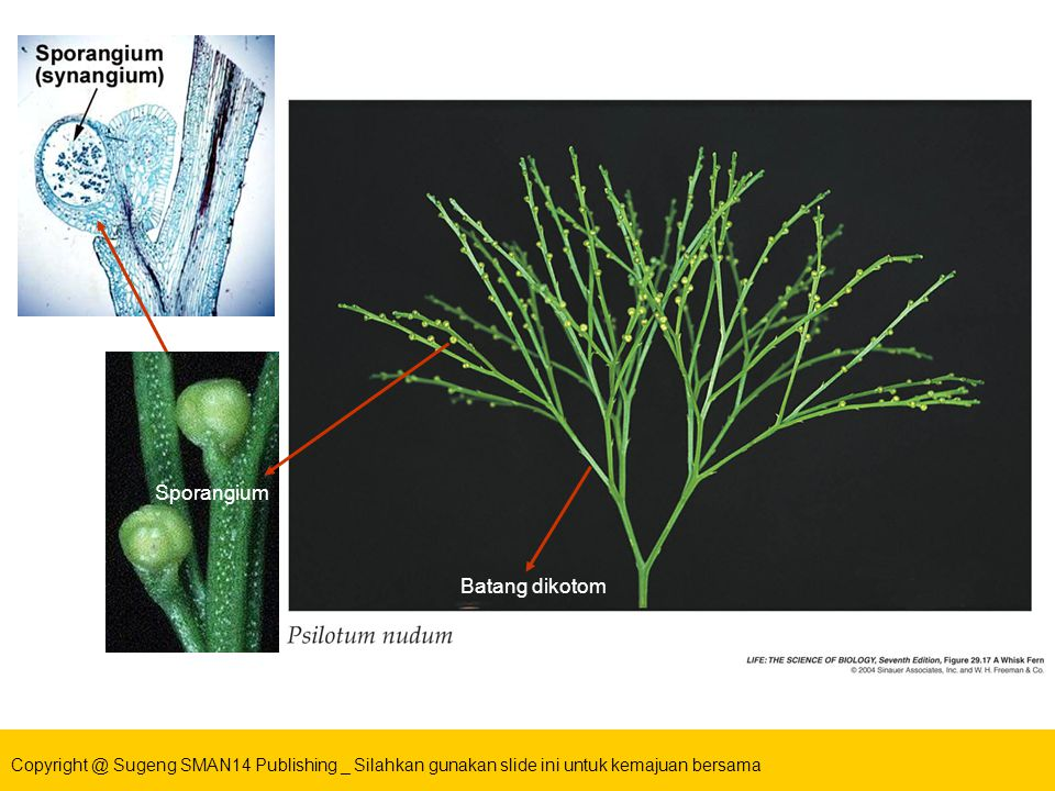 Batang dikotom Sporangium Batang