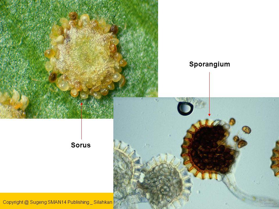Sporangium Sorus