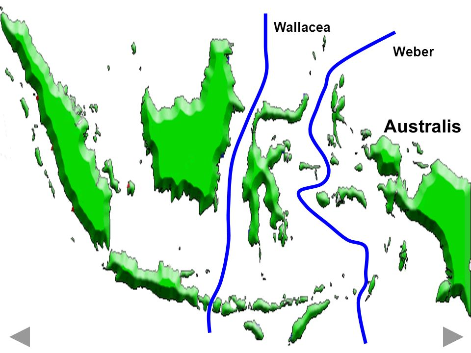 Wallacea Weber Australis