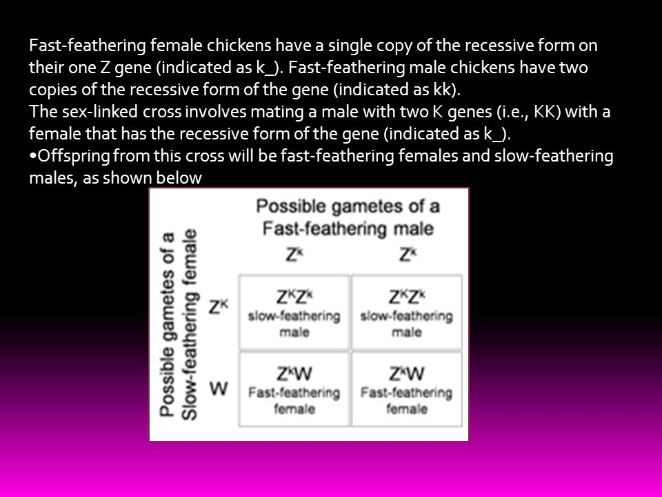 Fast-feathering female chickens have a single copy of the recessive form on their one Z gene (indicated as k_). Fast-feathering male chickens have two copies of the recessive form of the gene (indicated as kk).