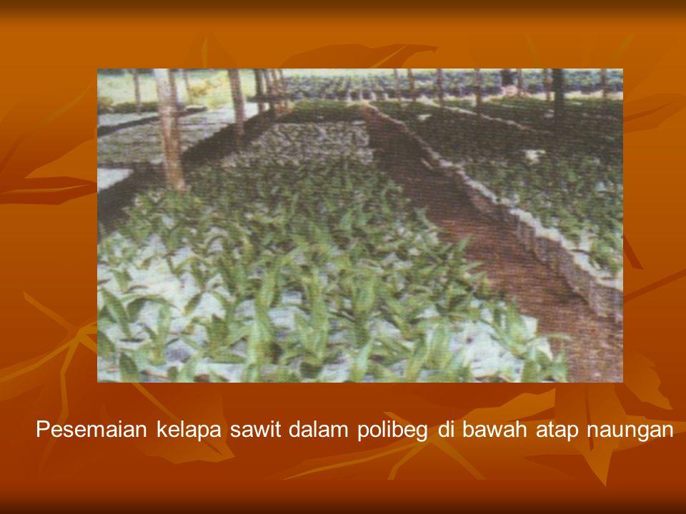 Pesemaian kelapa sawit dalam polibeg di bawah atap naungan