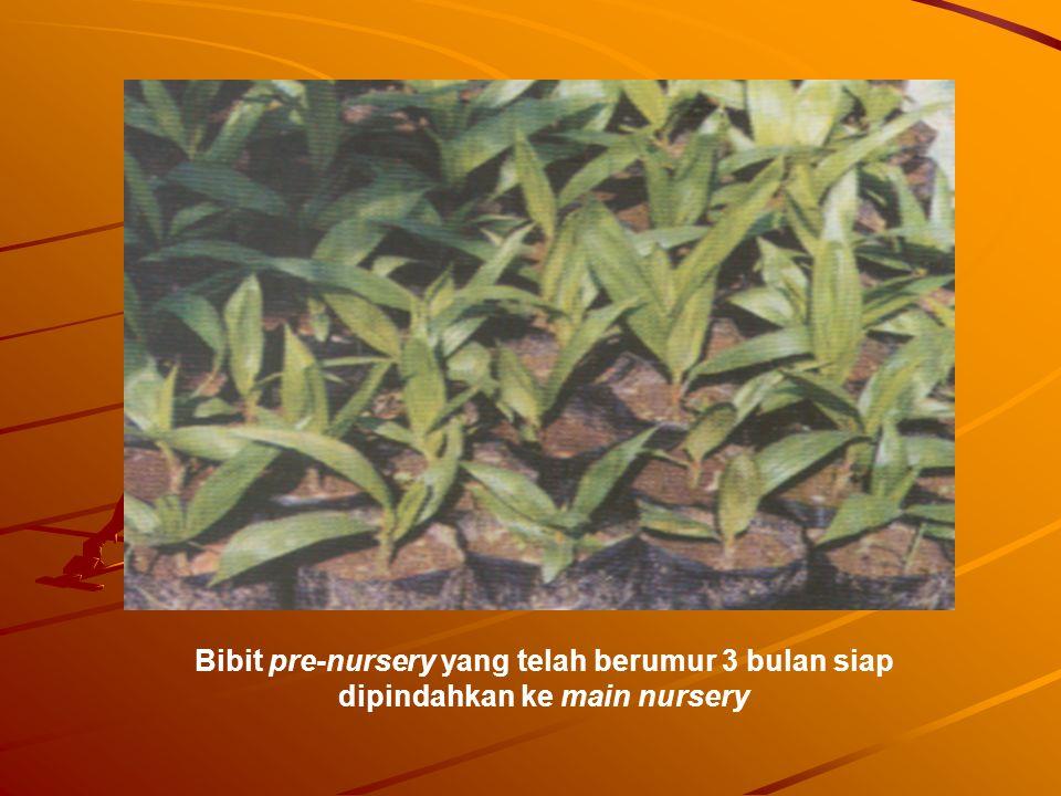 Bibit pre-nursery yang telah berumur 3 bulan siap dipindahkan ke main nursery