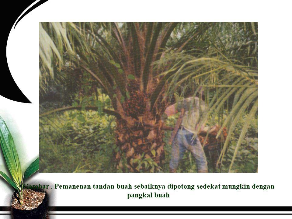 Gambar . Pemanenan tandan buah sebaiknya dipotong sedekat mungkin dengan pangkal buah