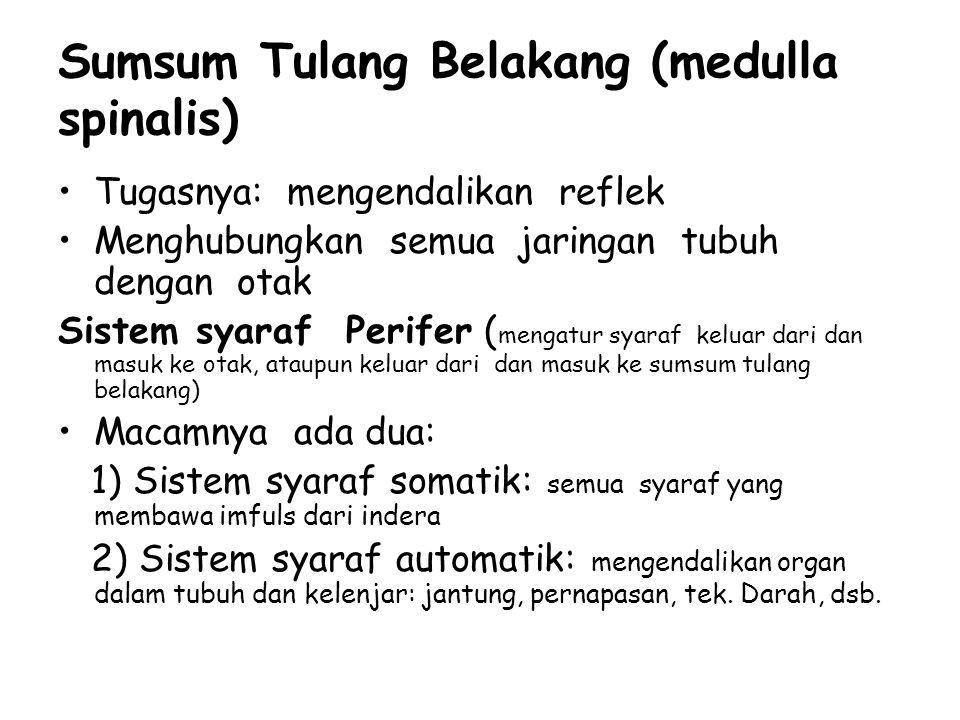Sumsum Tulang Belakang (medulla spinalis)