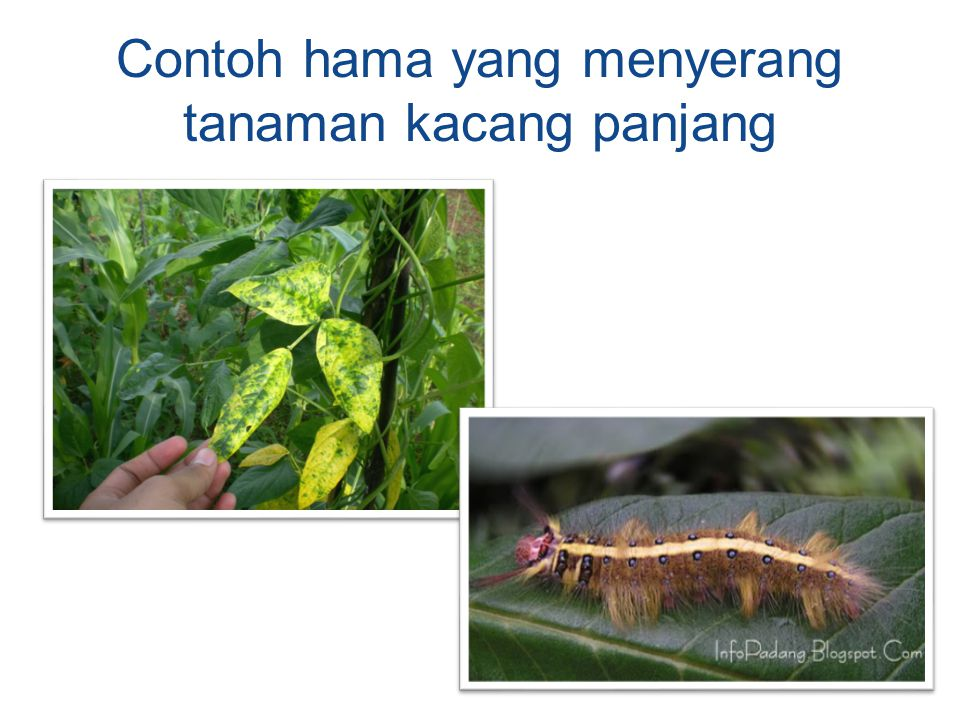 Contoh hama yang menyerang tanaman kacang panjang