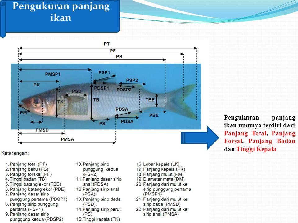 Pengukuran panjang ikan