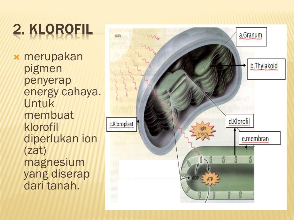 2. Klorofil merupakan pigmen penyerap energy cahaya.