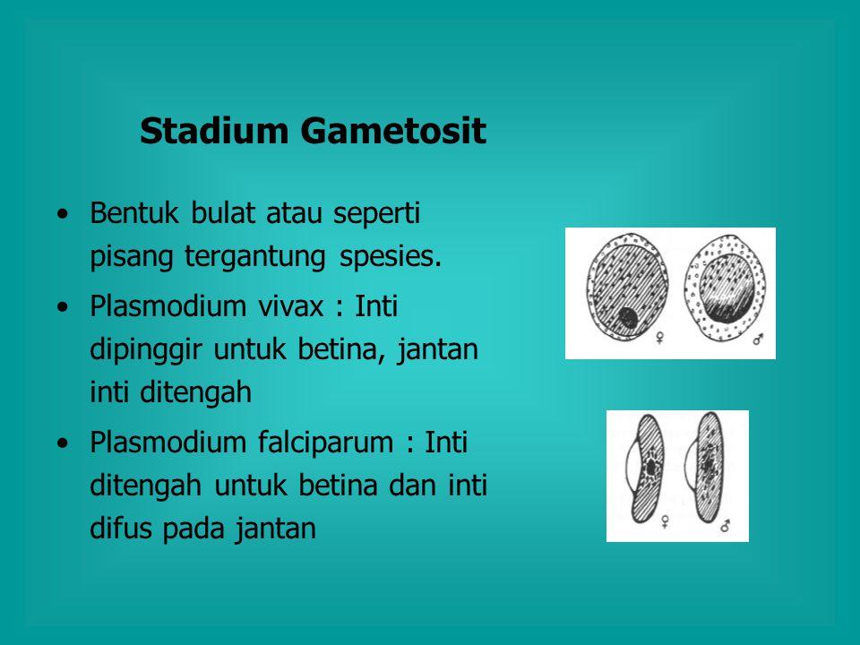 Stadium Gametosit Bentuk bulat atau seperti pisang tergantung spesies.