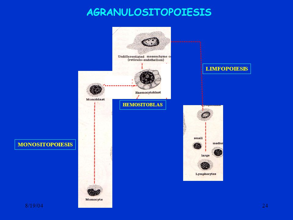 AGRANULOSITOPOIESIS LIMFOPOIESIS HEMOSITOBLAS MONOSITOPOIESIS 8/19/04