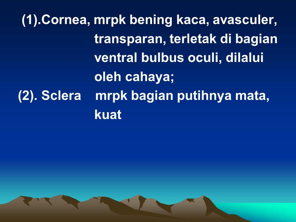 (1).Cornea, mrpk bening kaca, avasculer,