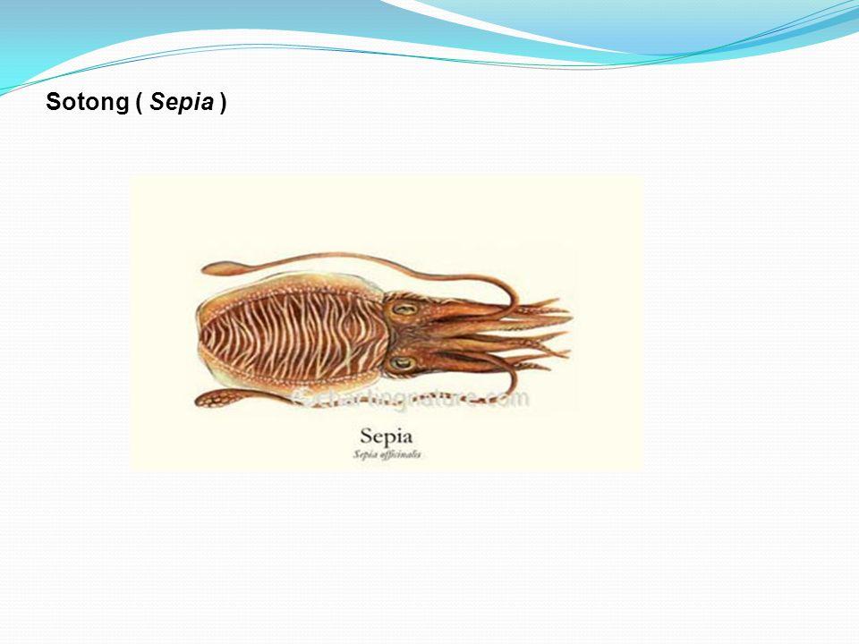 Sotong ( Sepia )