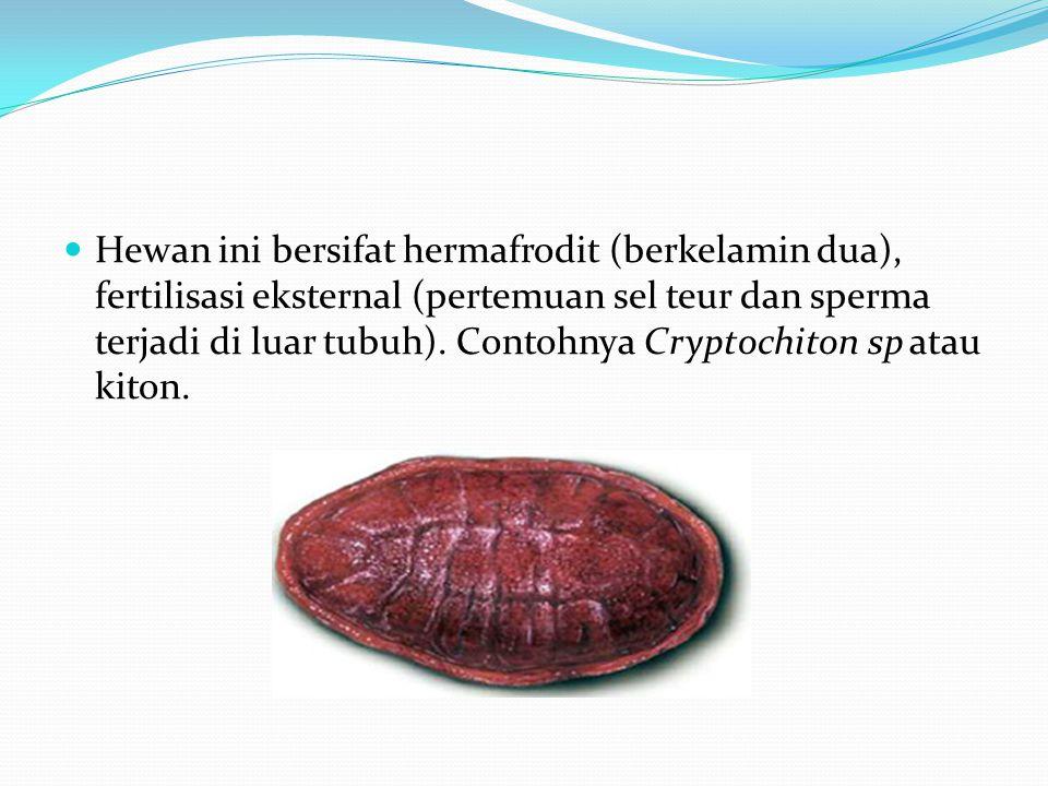 Hewan ini bersifat hermafrodit (berkelamin dua), fertilisasi eksternal (pertemuan sel teur dan sperma terjadi di luar tubuh).