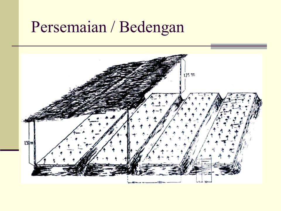 Persemaian / Bedengan