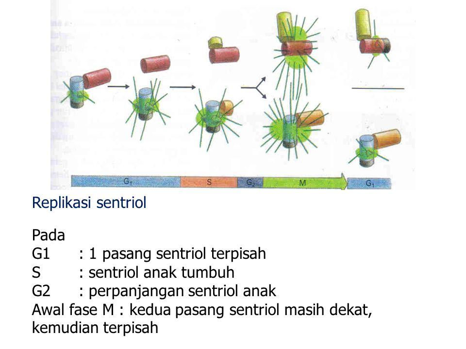 Replikasi sentriol Pada. G1 : 1 pasang sentriol terpisah. S : sentriol anak tumbuh. G2 : perpanjangan sentriol anak.