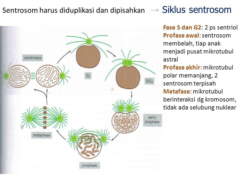 Siklus sentrosom Sentrosom harus diduplikasi dan dipisahkan