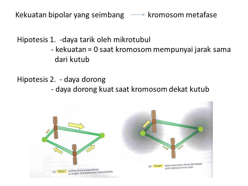 Kekuatan bipolar yang seimbang kromosom metafase