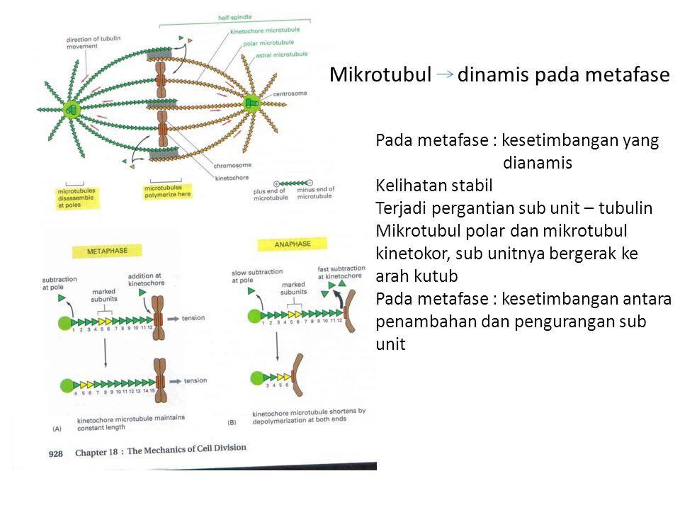 Mikrotubul dinamis pada metafase