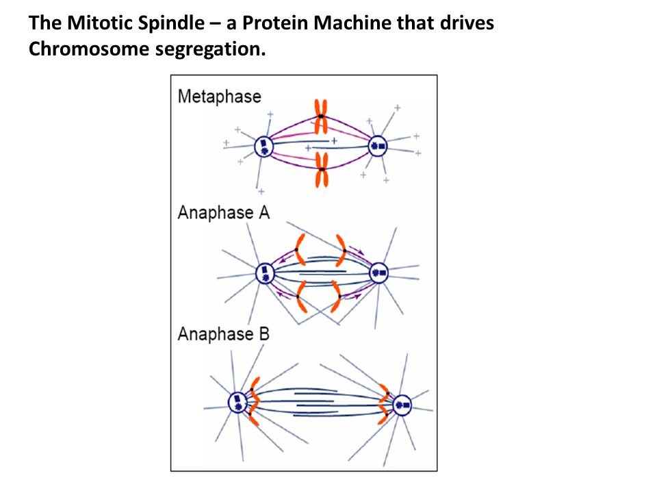 The Mitotic Spindle – a Protein Machine that drives