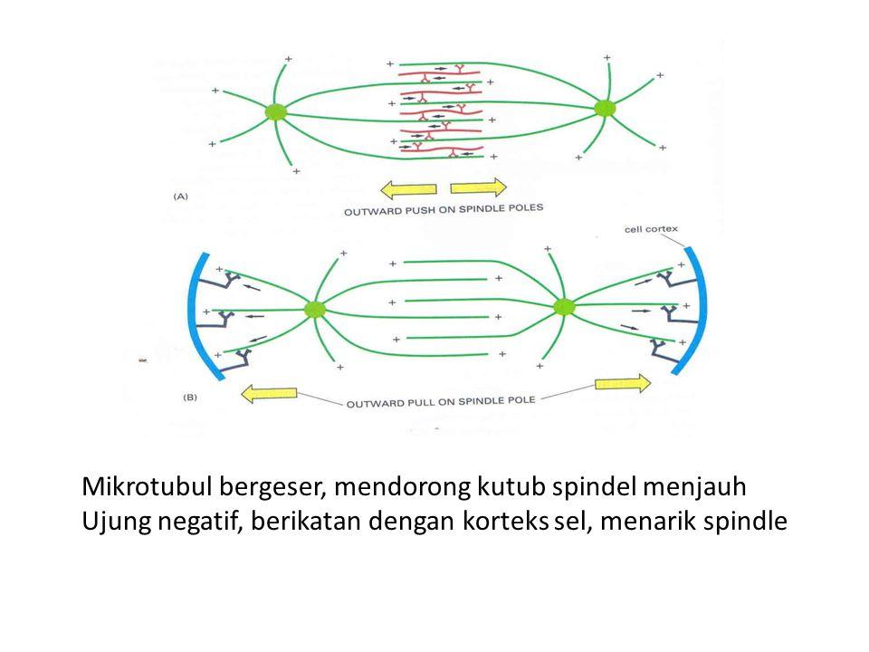 Mikrotubul bergeser, mendorong kutub spindel menjauh