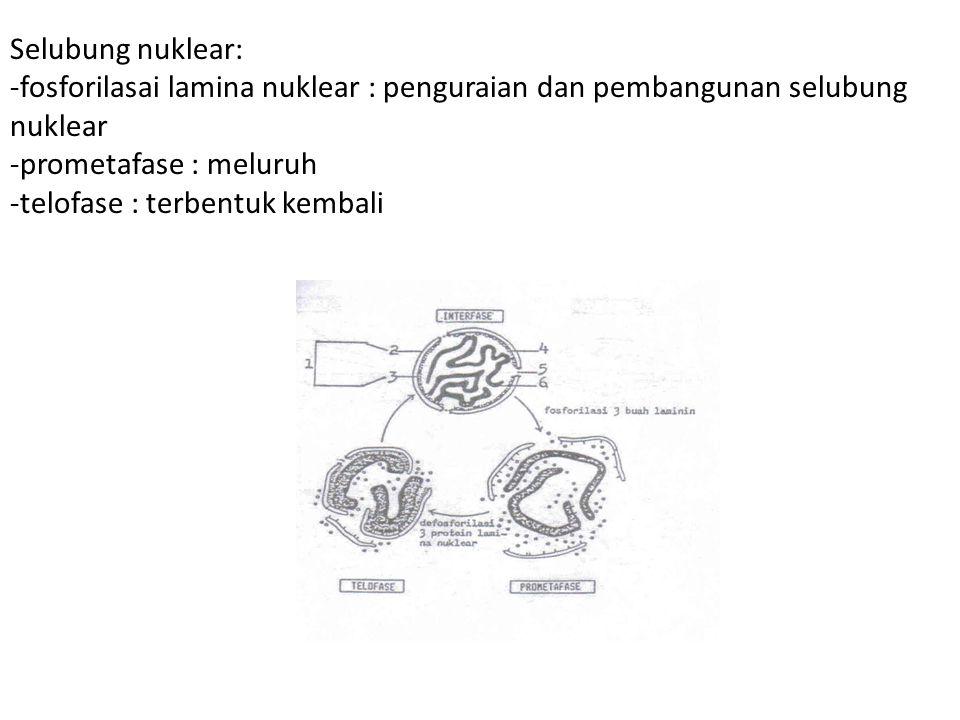 Selubung nuklear: -fosforilasai lamina nuklear : penguraian dan pembangunan selubung nuklear. -prometafase : meluruh.