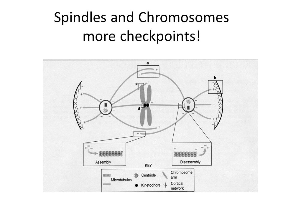 Spindles and Chromosomes more checkpoints!