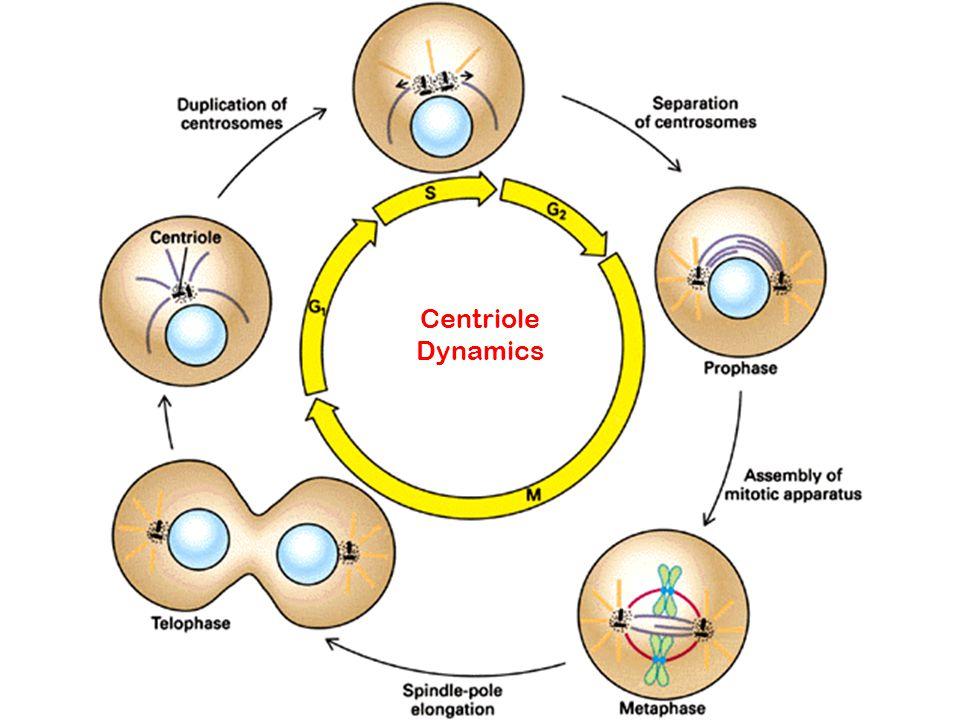 Centriole Dynamics