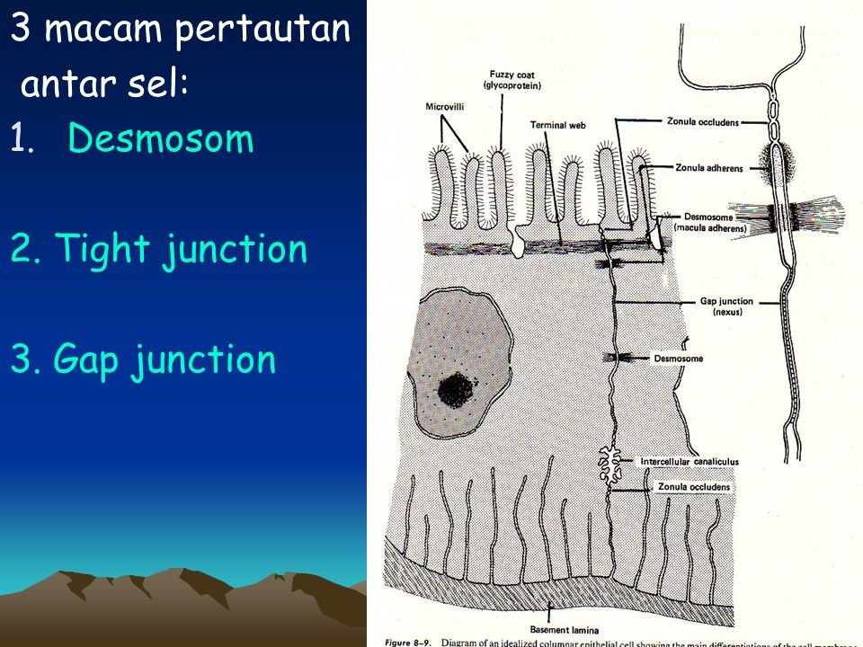 3 macam pertautan antar sel: Desmosom 2. Tight junction 3. Gap junction