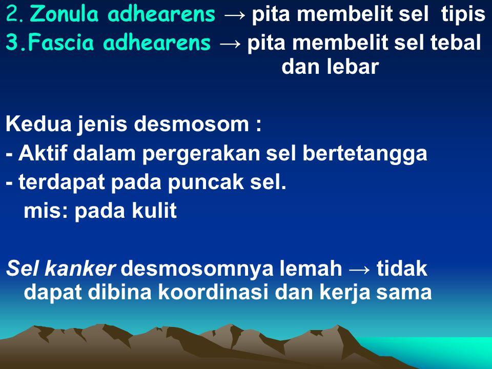 2. Zonula adhearens → pita membelit sel tipis