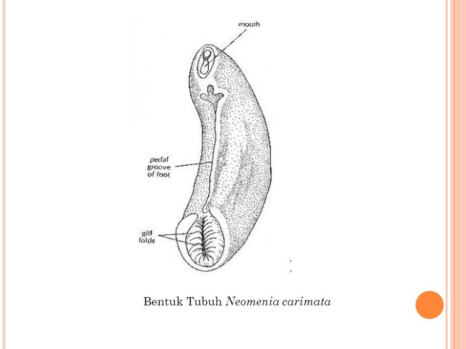 Bentuk Tubuh Neomenia carimata