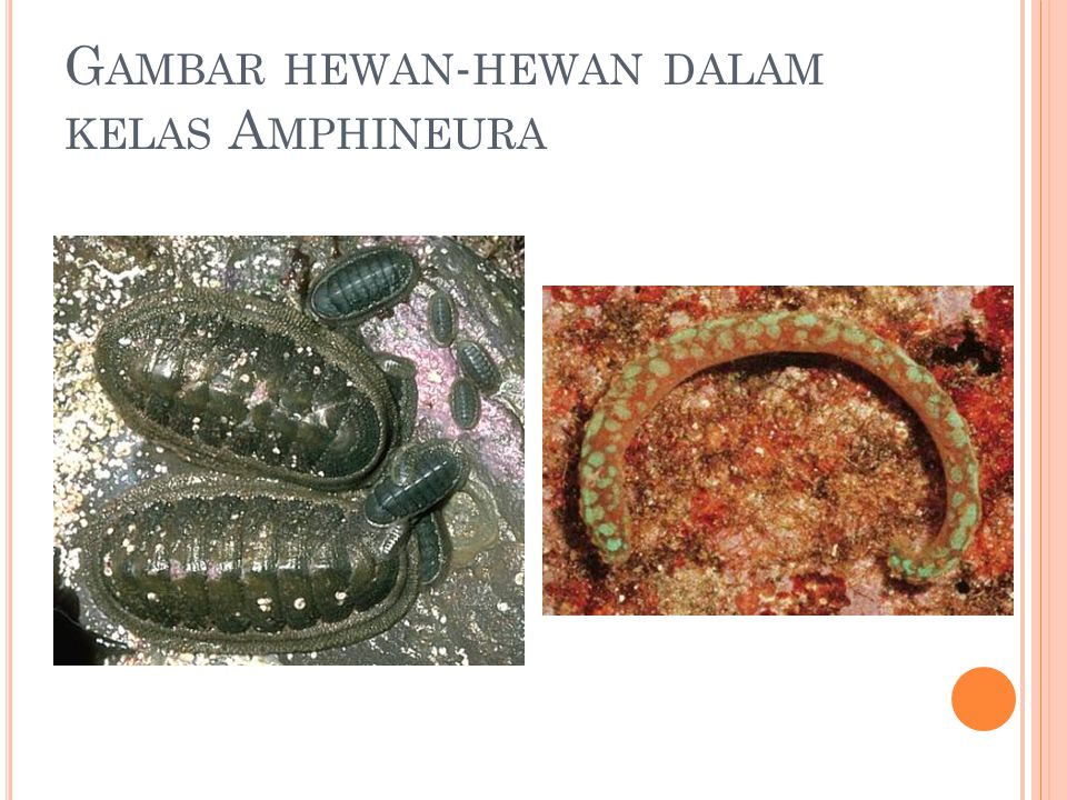Gambar hewan-hewan dalam kelas Amphineura