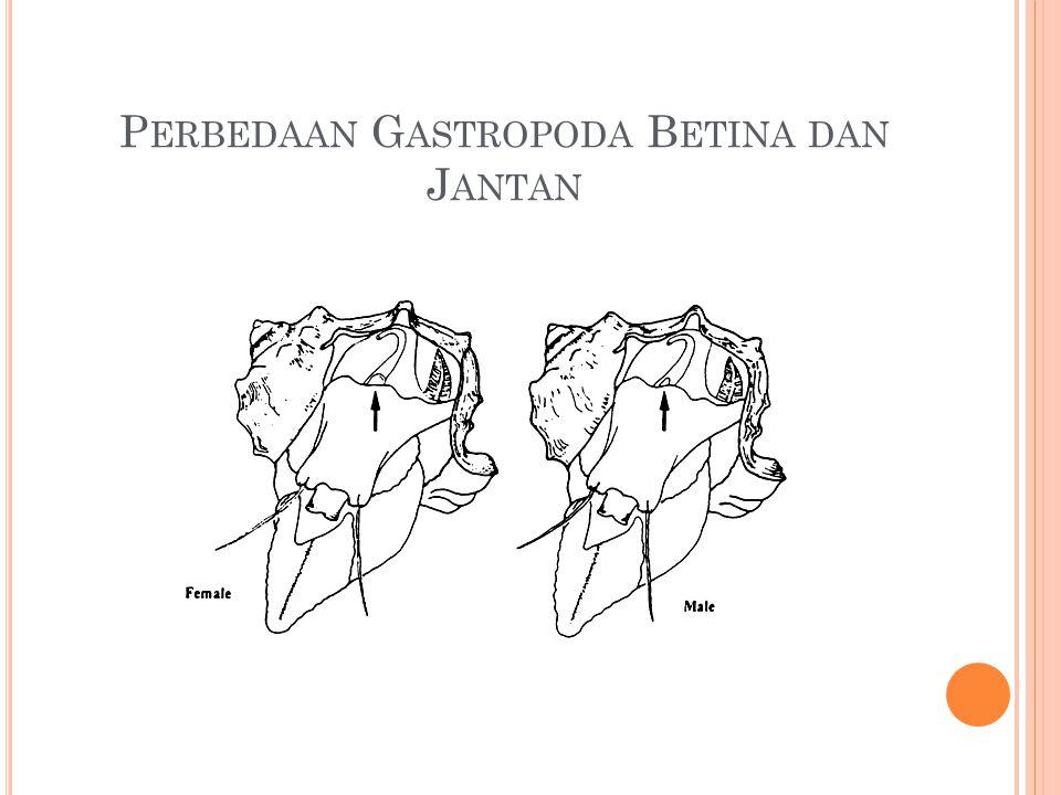 Perbedaan Gastropoda Betina dan Jantan