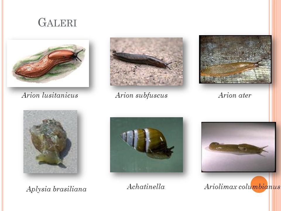 Galeri Arion lusitanicus Arion subfuscus Arion ater Achatinella