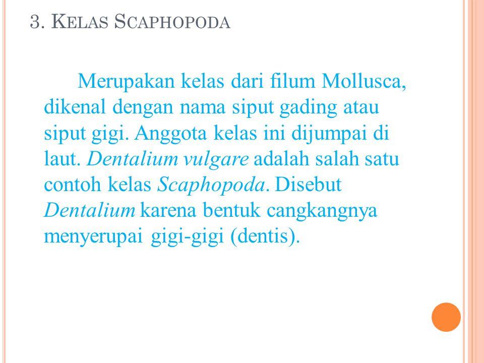 3. Kelas Scaphopoda