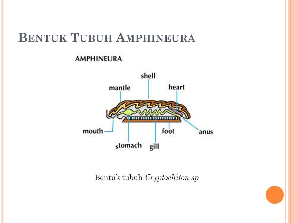 Bentuk Tubuh Amphineura