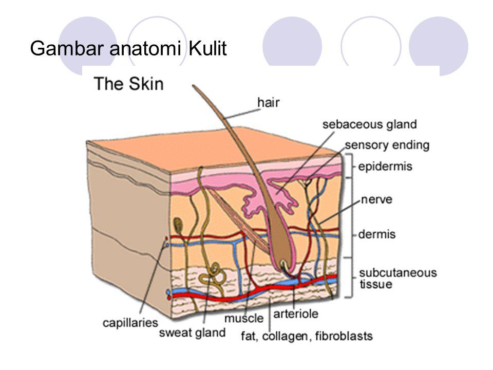Gambar anatomi Kulit