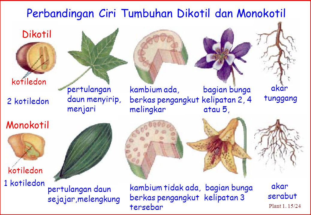 Dikotil Monokotil 2 kotiledon pertulangan daun menyirip, menjari