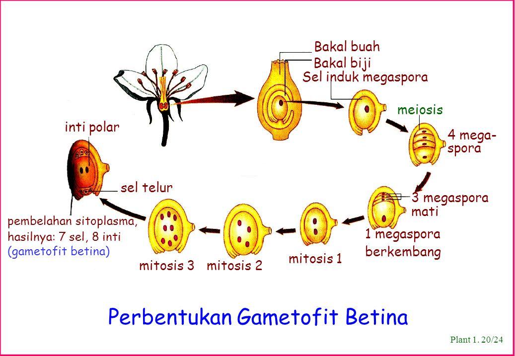 Perbentukan Gametofit Betina Plant 1. 20/24